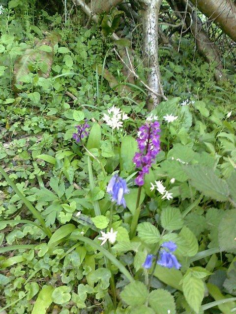 Bluebells, Garlic och Orkidé